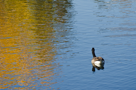 wade: Canada Goose on an Autumn Golden Pond