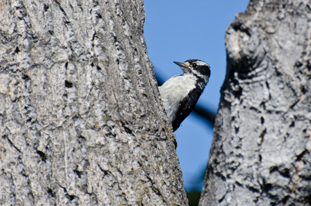 downy woodpecker: Downy Woodpecker Resting in the Fork of a Tree Stock Photo