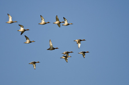 Flock of Redheads Flying in a Blue Sky photo