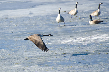 frozen lake: Canada Goose Taking Off From Frozen Lake Stock Photo
