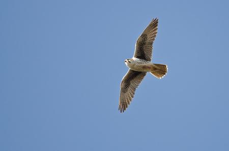 falcon: Prairie Falcon Flying in a Blue Sky