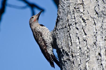 flicker: Northern Flicker Clinging To Side of Tree