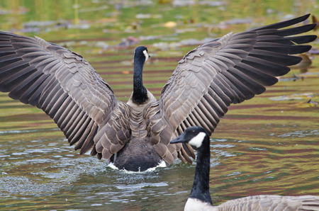canada goose: Canada Goose with Outstretched Wings