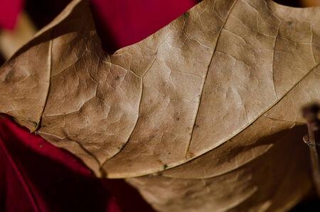 dried leaf: Crisp Dried Leaf in Autumn