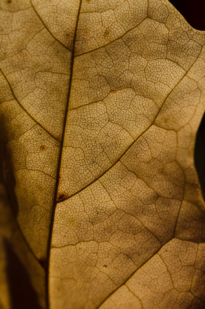 epidermis: Nature Abstract - Epidermis Cells and Veins of a Dying Leaf