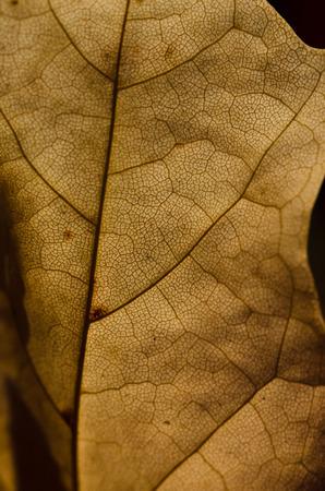 epiderme: Nature Abstrait - Cellules �piderme et veines d'une feuille Dying