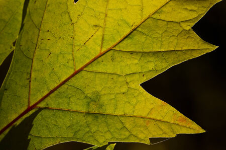 dying: Nature Abstract - Cells and Veins of a Dying Leaf Stock Photo