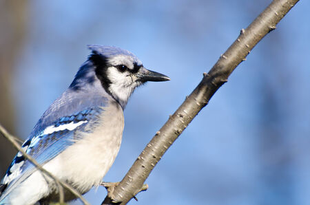 jay: Blue Jay Perched in a Tree Stock Photo