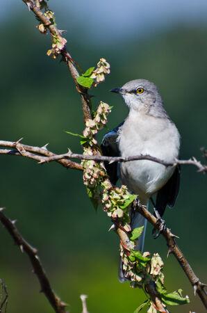 ruiseñor: El norte de Mockingbird encaramado en un árbol
