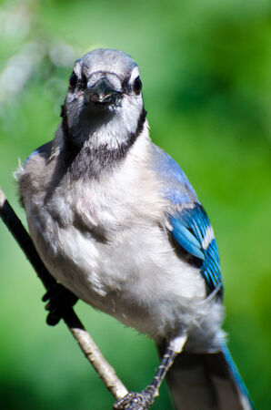 eye contact: Blue Jay Making Eye Contact Stock Photo