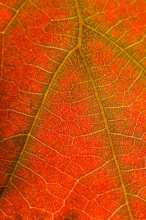 Nature Abstract - Cells and Veins of a Dying Leaf Banco de Imagens