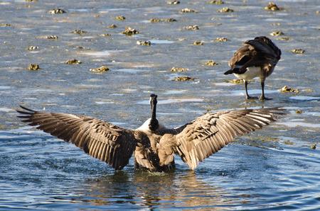 nasty: Canada Goose Encountering Nasty Ice Flow