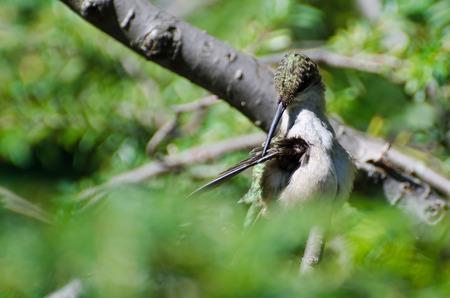 preening: Ruby-Throated Hummingbird Preening