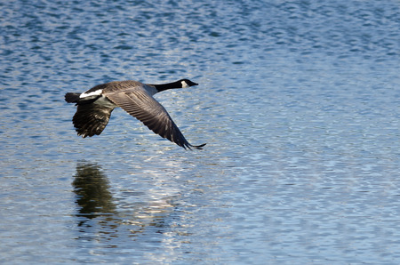 canada goose: Canada Goose Flying Over the Lake Stock Photo