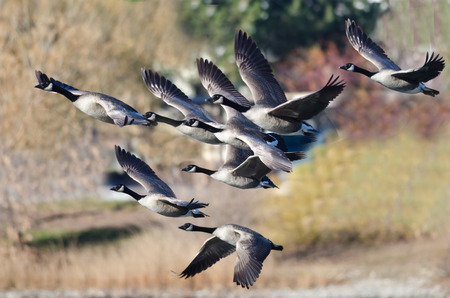 Canada Geese Flying Across the Autumn Woods Stock Photo - 34651374