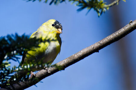 goldfinch: Male Goldfinch Changing to Breeding Plumage Stock Photo