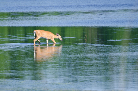 wading: Deer Wading Out into the Water Stock Photo