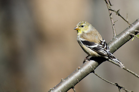 goldfinch: Female Goldfinch Perched in a Tree Stock Photo