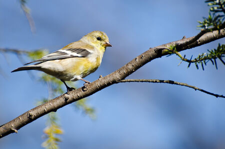 animal limb: Female Goldfinch Perched in a Tree Stock Photo