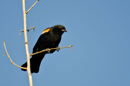 animal limb: Red-Winged Blackbird Perched in Tree