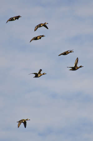 white necked: Flock of Ring-Necked Ducks Flying in a Cloudy Sky