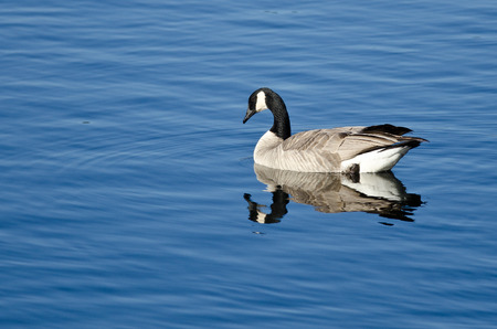 canada goose: Canada Goose Resting on a Blue Lake