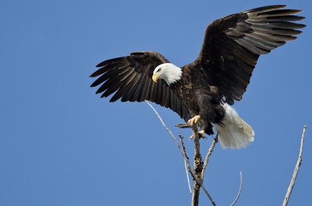 ツリーの最上部から白頭鷲狩り