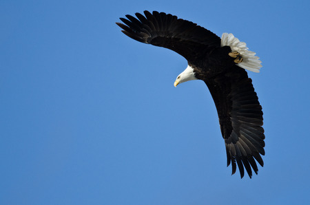 Bald Eagle Hunting On The Wing