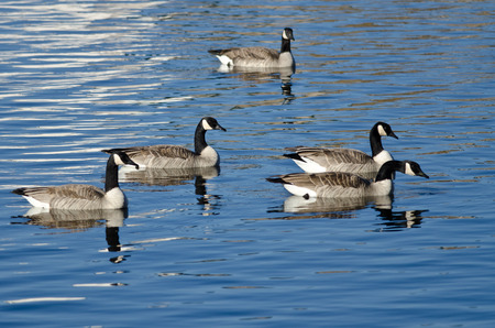 wade: Flock of Geese Resting on a Winter Lake