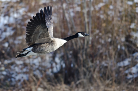 canada goose: Canada Goose Flying Over a Winter River