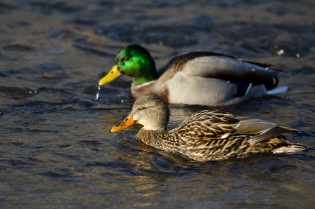wade: Pair of Mallard Ducks Swimming Down the River