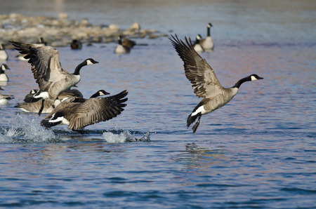 Canada Geese Taking Off From a Winter River Banco de Imagens