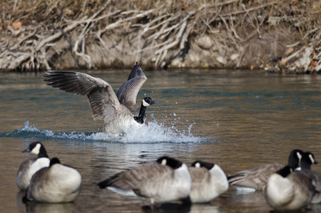 canada goose: Canada Goose Landing In a Winter River Stock Photo