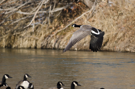 canada goose: Canada Goose Taking Off From a River Stock Photo