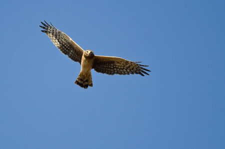 eye contact: Northern Harrier Making Eye Contact As It Flys
