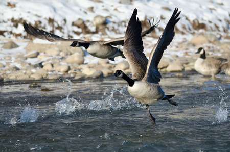 Canada Geese Taking Off From a Winter River Stock fotó