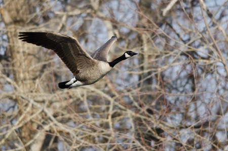 canada goose: Canada Goose Flying Over a River Stock Photo