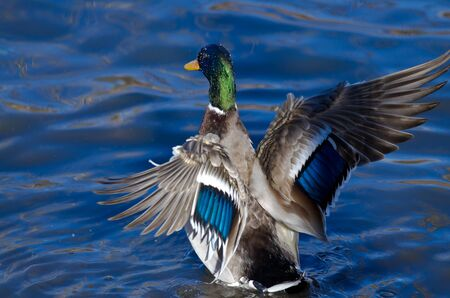 outstretched: Mallard Duck on the Water with Outstretched Wings Stock Photo