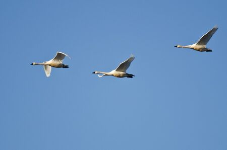 tundra swan: Three Tundra Swans Flying in a Blue Sky Stock Photo