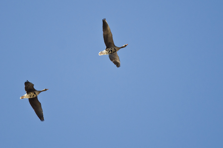 white fronted goose: Pair of Greater White-Fronted Geese Flying in a Blue Sky
