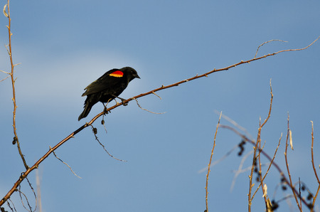 red winged: Red-Winged Blackbird Perched on a Branch