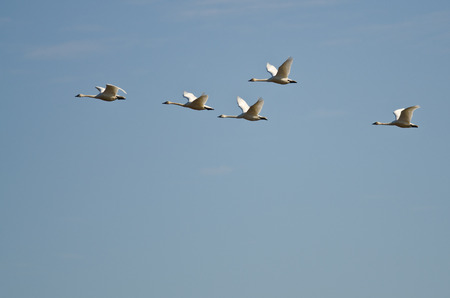 tundra swan: Flock of Tundra Swans Flying in a Blue Sky