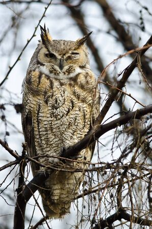 Great Horned Owl with an Injured Eye