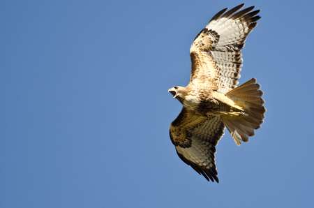 hawk: Red-Tail Hawk Flying in a Blue Sky Stock Photo