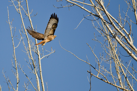 belly band: Red-Tail Hawk Flying Up To Its Nest