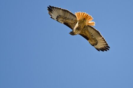 belly band: Red-Tail Hawk Hunting on the Wing Stock Photo