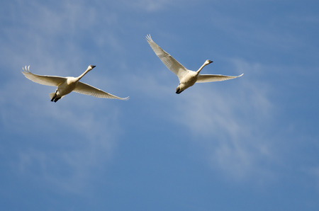 tundra swan: Pair of Tundra Swans Flying in a Blue Sky