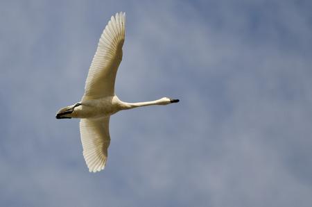 tundra swan: Lone Tundra Cisne del vuelo en un cielo nublado Foto de archivo