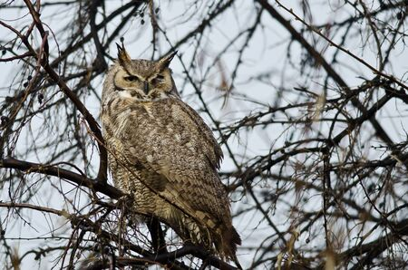 Great Horned Owl Perched in a Tree Фото со стока