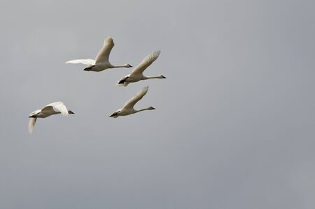 tundra swan: Four Tundra Swans Flying in a Cloudy Sky